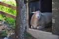 Schaf auf dem Bauernhof Beim Laberger