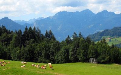 Samerberger Bergbauernmilch für leckeren Käse